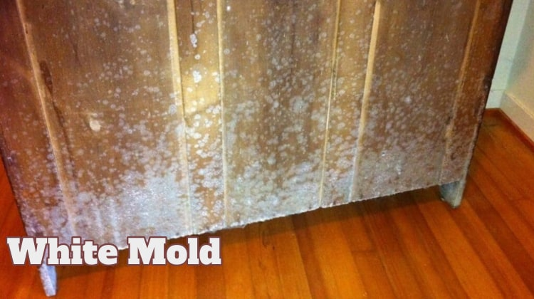 White Mold Dangerous And How Remove Guide